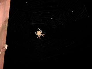 Orb spider at gutter - dark
