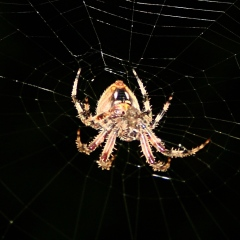 Orb spider - ventral