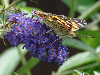 Painted Lady - right side