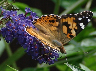 Painted Lady - dorsal