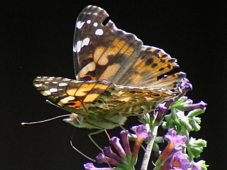 Painted Lady - left rear
