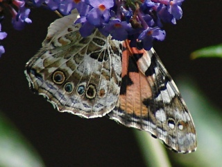 Painted Lady - underwing