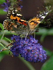 Painted Lady - right front