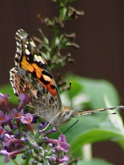 Painted Lady - front