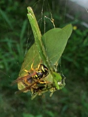 Webbed katydid with wasps