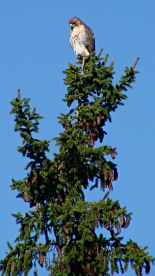 Coopers Hawk atop pine tree