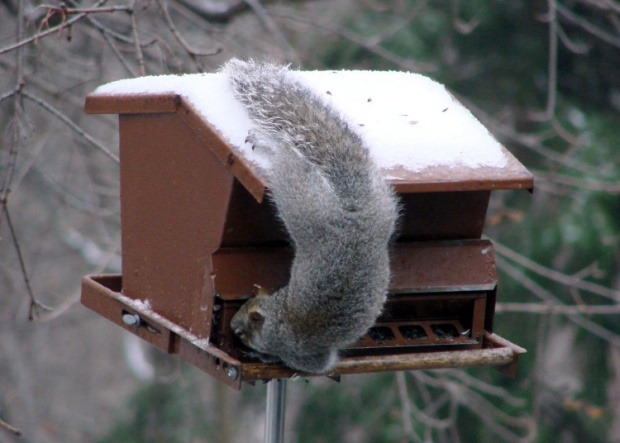 Not a Squirrel-Proof Feeder