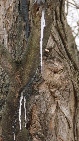 Maple Tree - sapcicles
