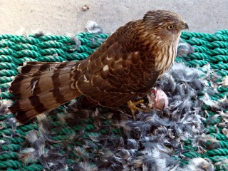 Coopers Hawk - on door mat