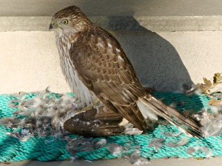 Coopers Hawk - with prey