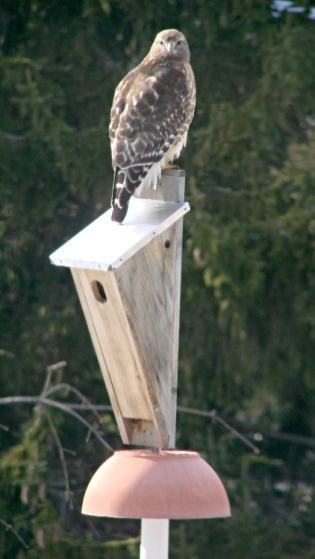 Coopers Hawk on bird box