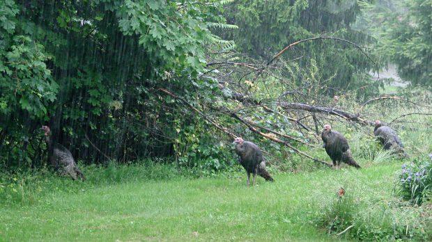 Turkeys in the Rain