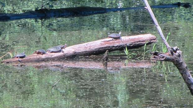 Turtles on a Log - Vassar Farm Pond