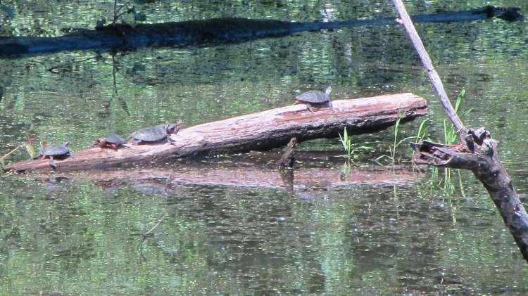 Turtles on a Log - Vassar Farm Pond