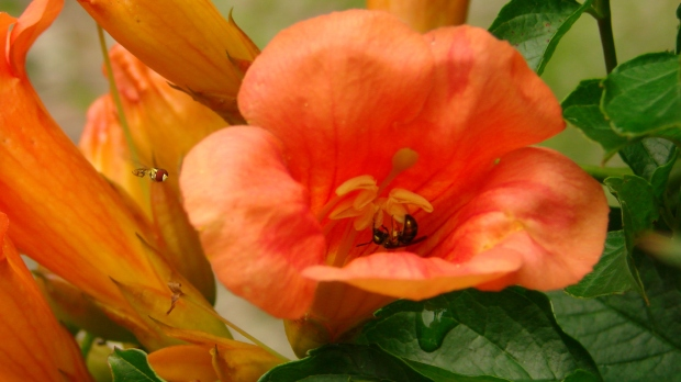 Solitary bees in Trumpet Vine - 2560x1440
