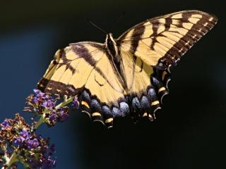 Yellow Tiger Swallowtail - tattered