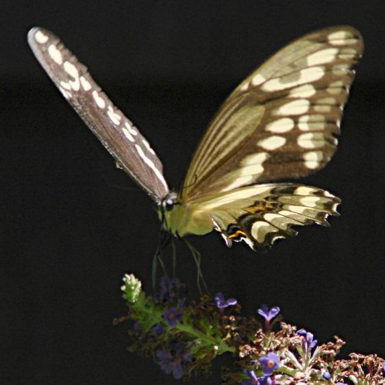 Giant Swallowtail - Liftoff