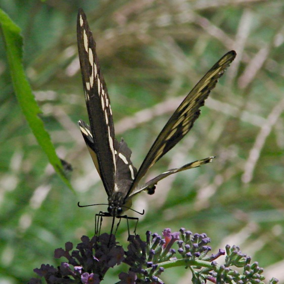 Giant Swallowtail - feeding