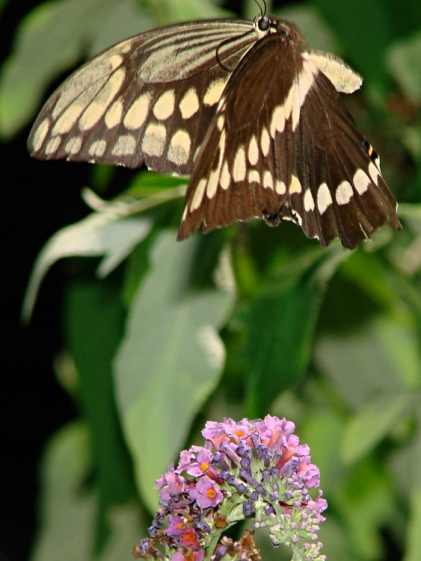 Giant Swallowtail - Downstroke