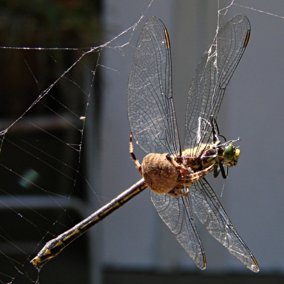 Spider vs. Dragonfly - overview