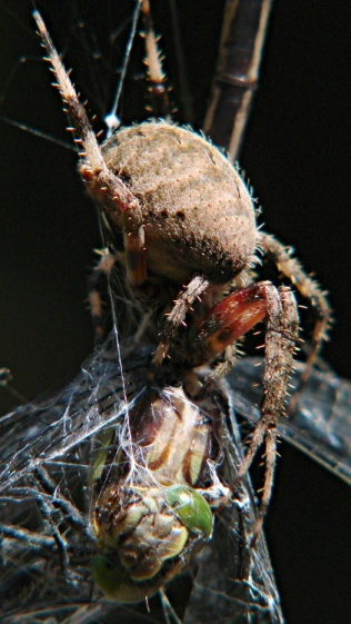 Spider vs. Dragonfly - front