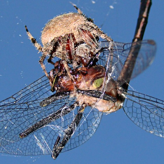 Spider vs. Dragonfly - bottom detail