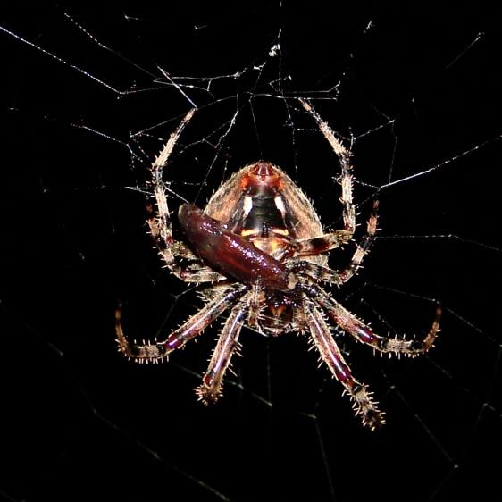 Spider with smaller prey