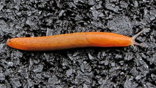 Orange slug on asphalt