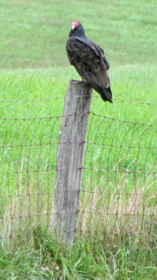 Turkey vulture on fence post