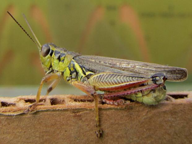 Grasshopper on corrugated cardboard