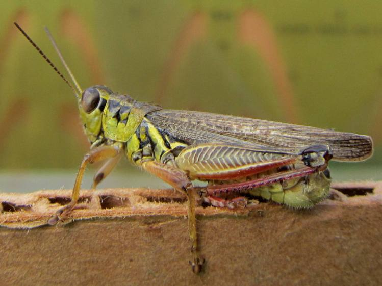 Grasshopper on corrugated cardboard