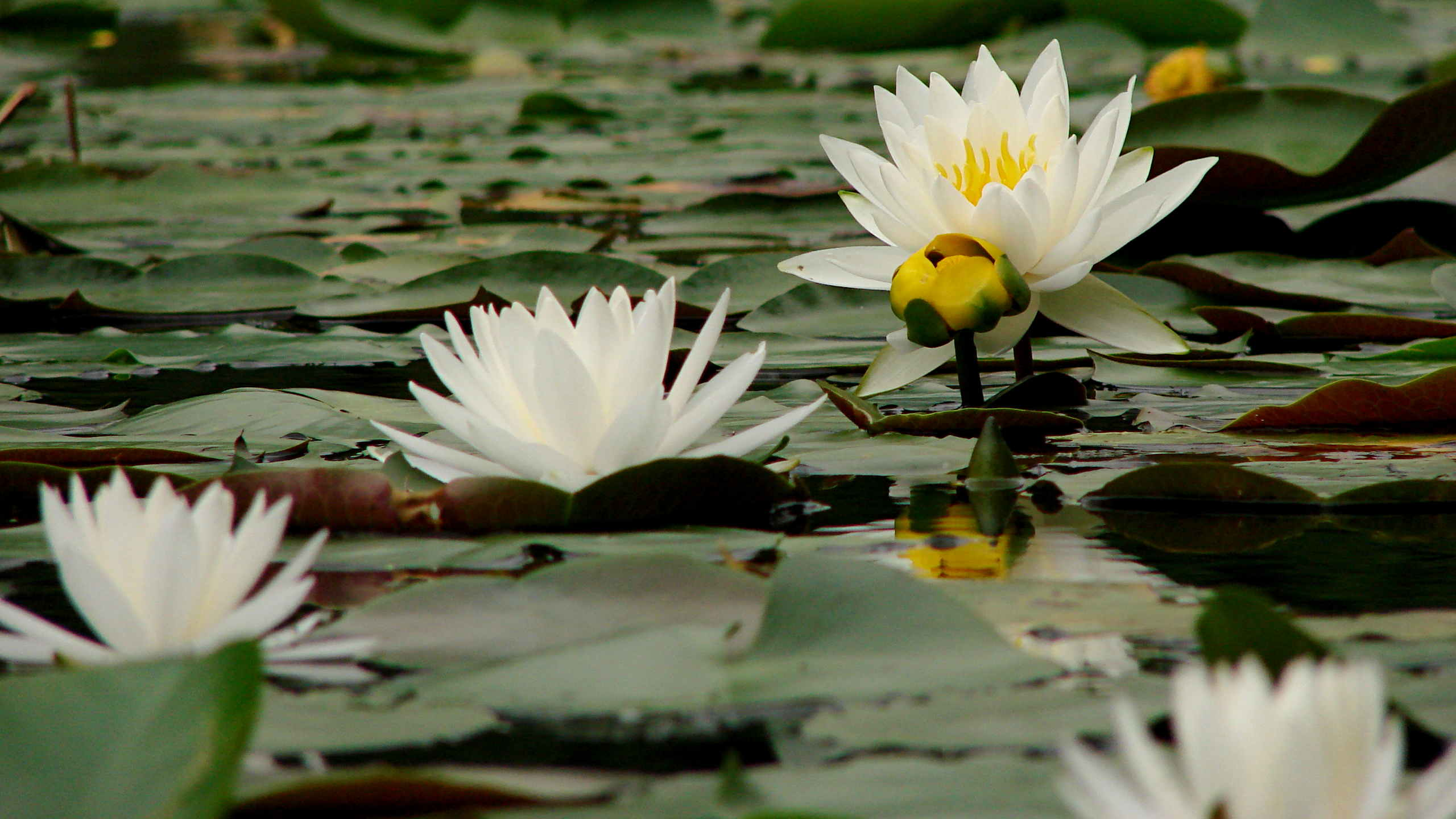 Monthly image innisfree water lilies the smell of molten projects innisfree water lilies stages izmirmasajfo