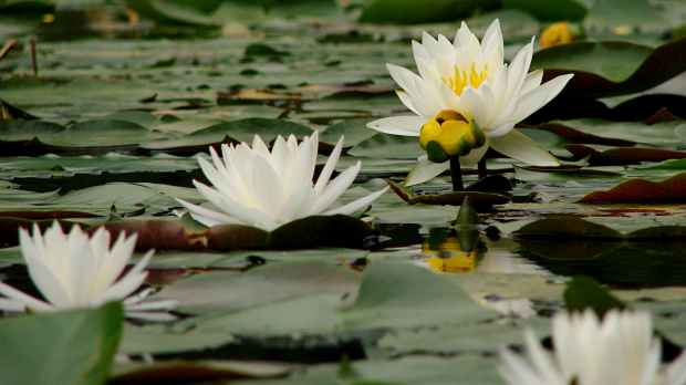 Innisfree water lilies - stages