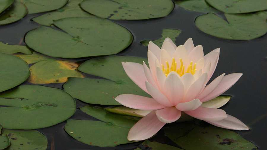 Innisfree water lily - pink