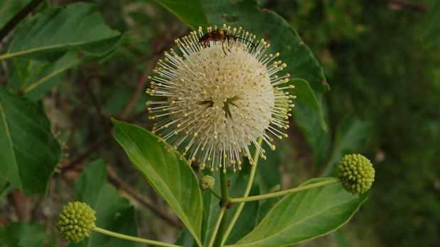 Beetle on spherical flower