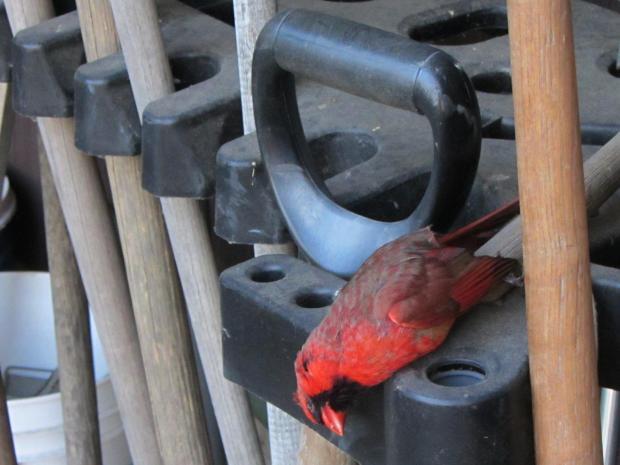 Male cardinal - window strike death
