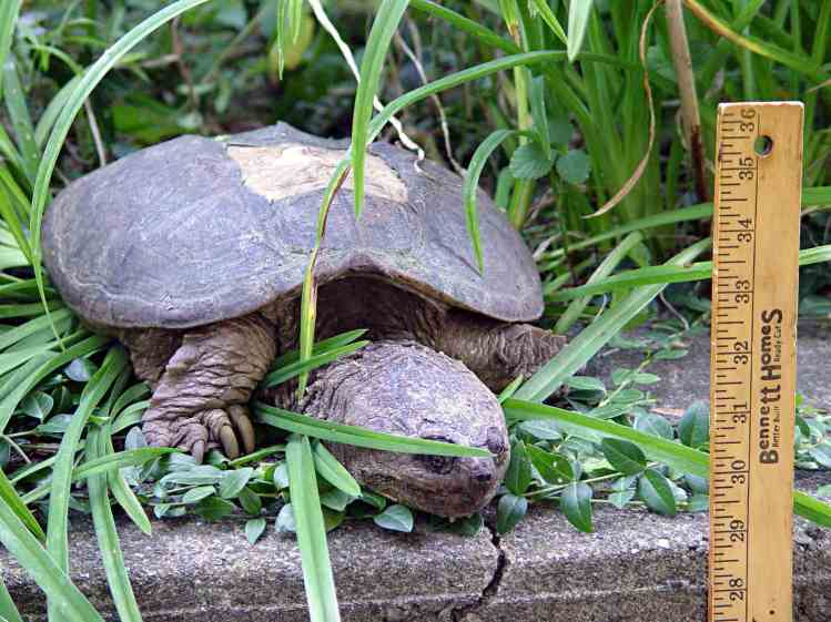 Snapping Turtle on wall