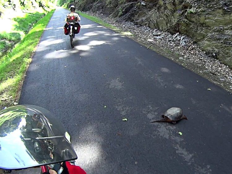 Snapping Turtle on DCRT - 2014-06-04