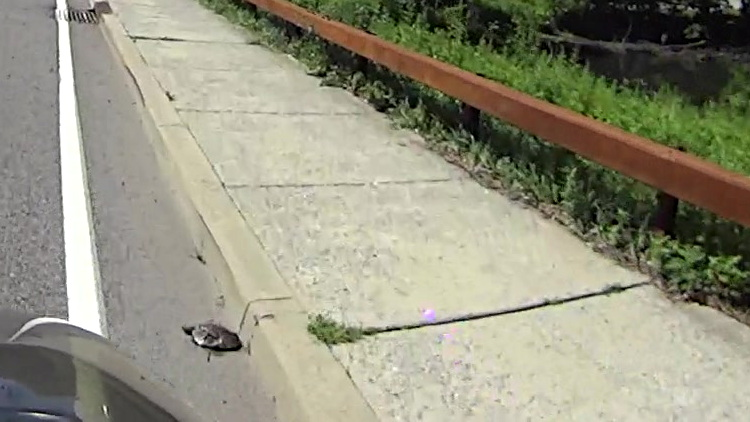 Smashed turtle - Raymond Ave at Vassar Lake - 2014-07-06