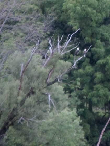 Bald Eagles at dusk - Hudson River near Hudson NY