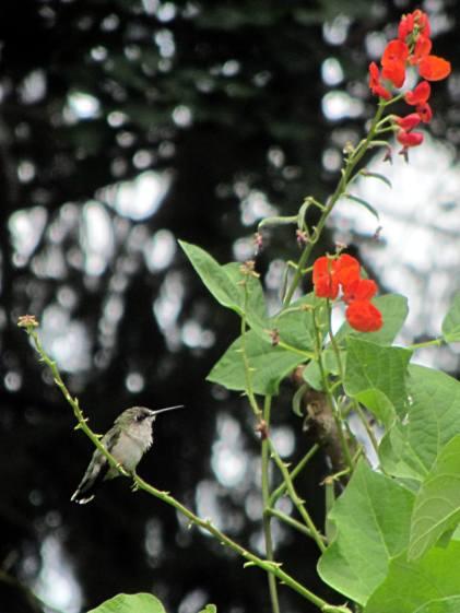 Hummingbird with Scarlet Runner Bean flowers