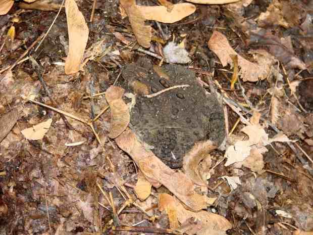 Cellular Toad - in garden