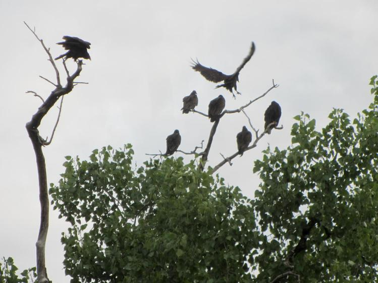 Vultures roosting - Rondout Creek Kingston NY