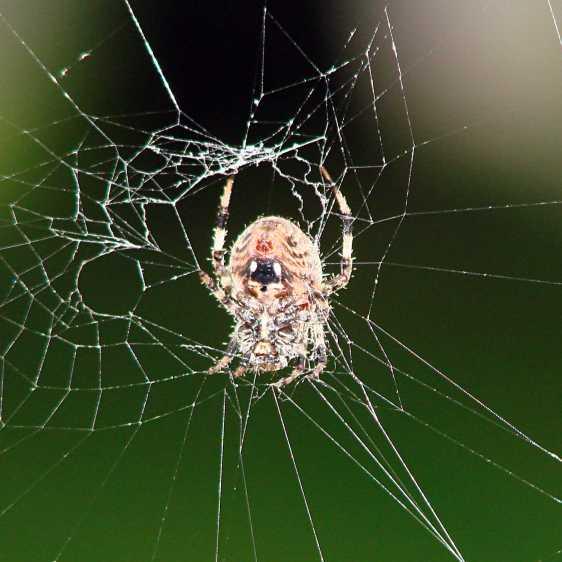 Orb spider - at rest