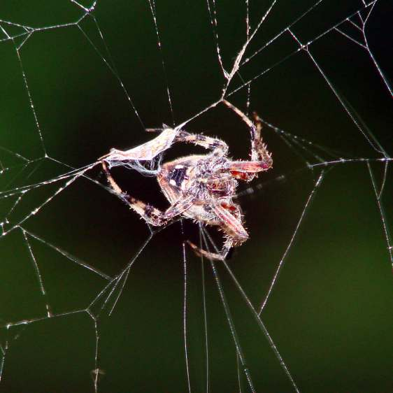 Orb spider - wrapping insect
