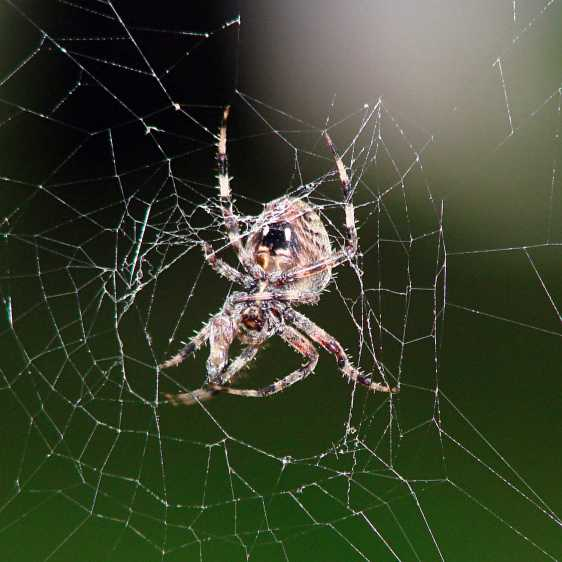 Orb spider - ready for breakfast