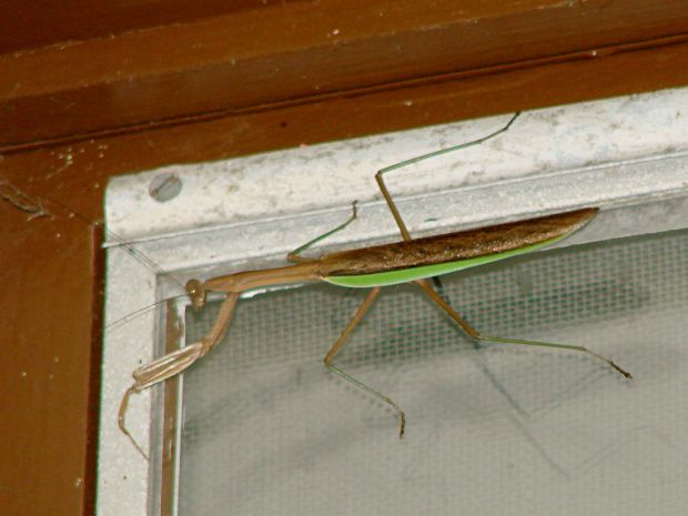 Praying mantis on window