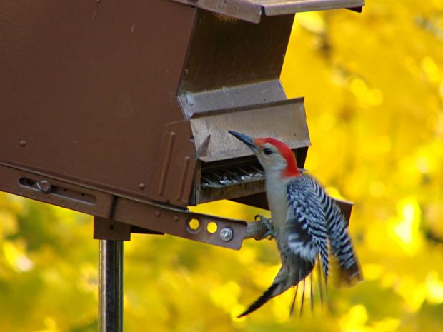 Red-bellied woodpecker at feeder - closing