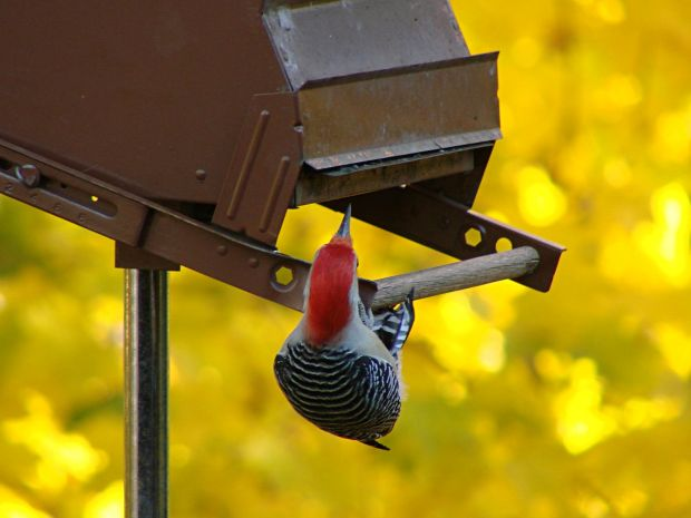 Red-bellied woodpecker at feeder - puzzled