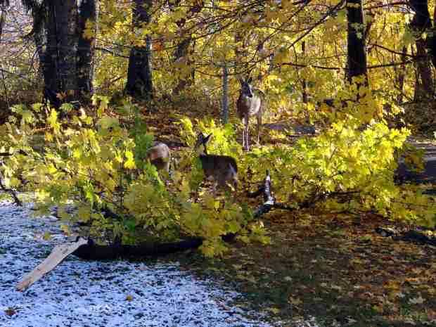 Deer nibbling downed maple branch